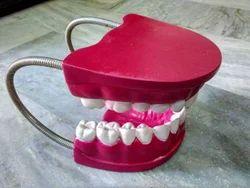 Dental Tooth Model