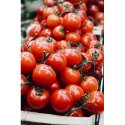 A Grade Red Fresh Tomato