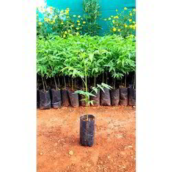 Melia Dubia Plant
