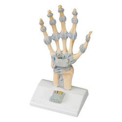Hand Skeleton Model With Ligament Sand Carpal Tunnel
