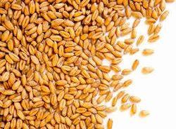 Indian Wheat Grains