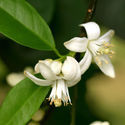 Pure Natural Neroli Oil