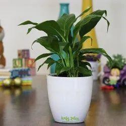 Peace Lily White Plastic Pot
