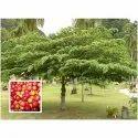 Muntingia Calabura Tree