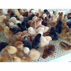 Poultry Farm Chick