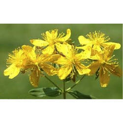 St. Johns Wort Plant Extract