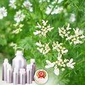 Coriander Oleoresin Oil
