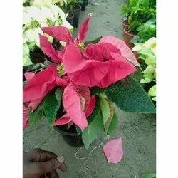 Pink Pansatia Plant