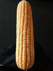 Maize F1 MS-1122 Seed for Agriculture