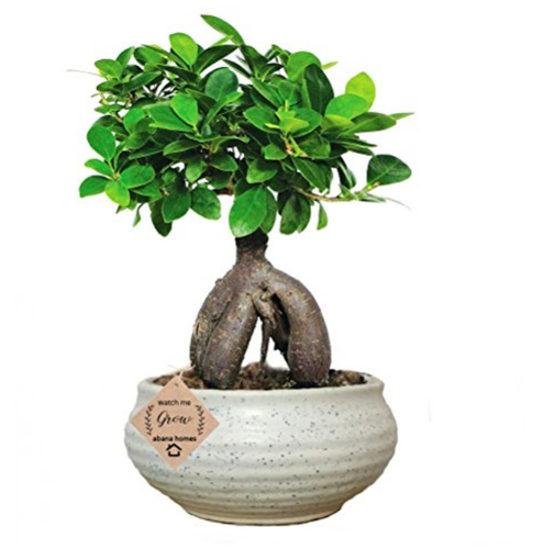 Abana Homes Gensing Grafted Ficus Indoor Bonsai Live Plants