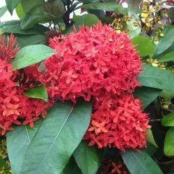 Ixora Flowering Plant