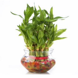 Lucky Bamboo 2 Layer Plants