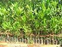 Acasia Mangium Plant