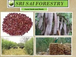 Sri Sai Forestry Subabul Seeds, Pack Size: 5-20 Kg