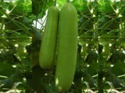 Natvar Bottle Gourd