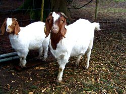 Male Boer Goat, Rs 7500 /unit, Salem Goat Farms | ID