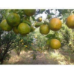 SANTARA FRUITS APLANTSantara Fruits Plants