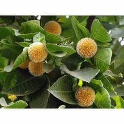 Neolamarckia Cadamba Kadamba Seed