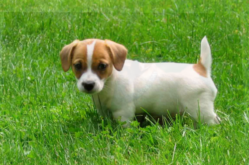 The Way To Take My Jack Russell Puppy?
