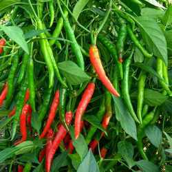 Chilli F1 Richa Seeds