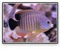 Red Stripe Angelfish