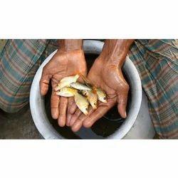 Spawn Silver Carp Fish