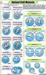 Animal Cell Meiosis For Zoology Chart