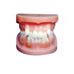 Orthodontic Model/ Transparent Adult Teeth Model