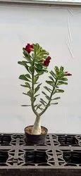 Adenium Arebicum Plant