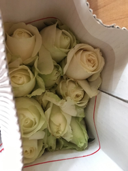 White Rose/Dutch Rose