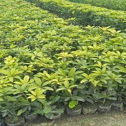 Chiku Sapota Plant