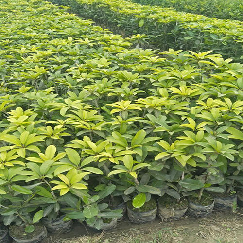 Fresh Fruit and Grafted Plant | Wholesale Supplier from Lucknow