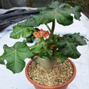 Well Watered Jatropha Plant