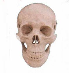 Human Skull Model Dx ZX-1202