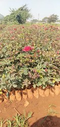 Taj Mahal Dutch Roses Plant