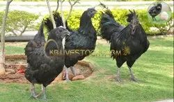 Jet Black Kadaknath Chicken