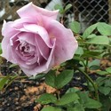 Light Pink Rose Plants