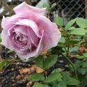 Light Pink Rose Plants