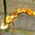 Polygonatum Sibiricum Extract