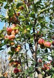 Apple Bear Plant