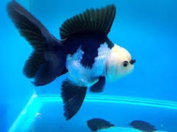 Panda Gold Fish, Size: 2.0 To 2.5inch