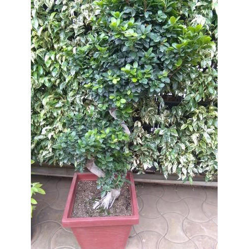Ficus Microcarpa Bonsai Live Plant