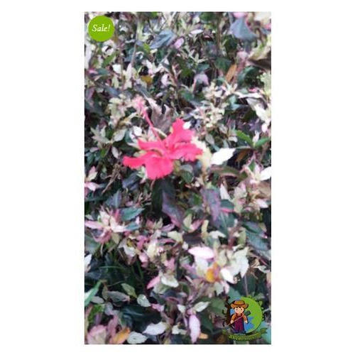 Hibiscus Red White Leaf Plant At Rs 250 Piece Flowering Plant