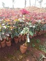 dutch roses plants