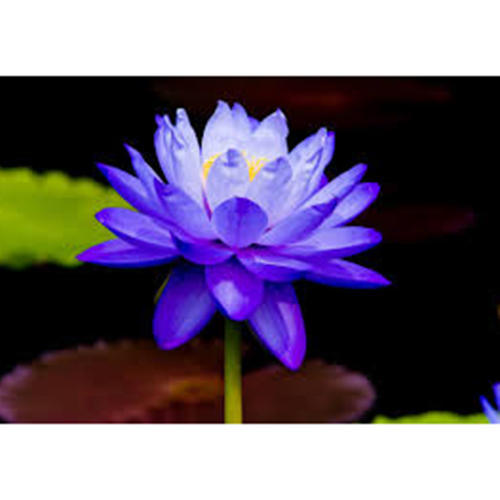 Blue Water Lily At Rs 10 Piece Lilium Flower लल क