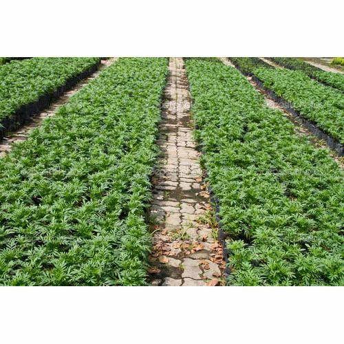Nursery Marigold Plants At Rs 2 Piece À¤® À¤° À¤— À¤² À¤¡ À¤ª À¤² À¤Ÿ Shree Sadguru Hightech Nursary Ahmednagar Id 14712060191