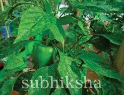 Capsicum In Subhiksha Grow Bags