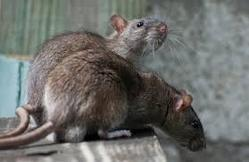 Rodent Control Services (Since 1992)