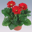Red Gerbera Pot Plant, For Party Decoration