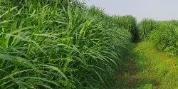 Hybrid Super Napier Grass Fast Growing And High Yielding 6 Years Yield 500 Ton Per Hec
